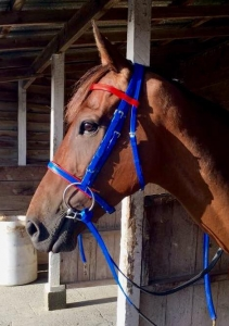 Royal with red trim race bridle and matching reins