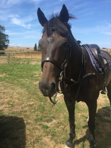 Brown padded bridle and brown padded breastplate